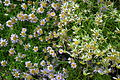 Brachyscome or Brachycome at lalbagh7307.JPG