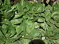 Brassica rapa subsp. chinensis - Pak choi from lalbagh 2290.JPG