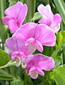 Broad-leaved Everlasting Pea (Lathyrus latifolius) (3710225748).jpg