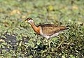 Bronze-winged jacana.jpg