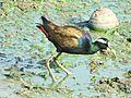 Bronzewing jacana mumbai.jpg