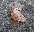 Brown-spot Pinion. Agrochola litura - Flickr - gailhampshire (1).jpg