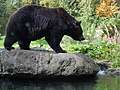 Brown Bear at Woodland Park Zoo.jpg