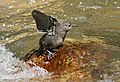 Brown Dipper- Immature coming out of water I IMG 6606.jpg