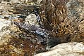 Brown Dipper- Immature feeding under water I IMG 6593.jpg