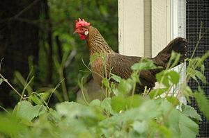 Leghorn chicken - Brown Leghorn hen
