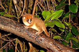 Brown Mouse Lemur. Microcebus Rufus - Flickr - gailhampshire.jpg