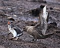 Brown Skua snatches Gentoo Penguin Chick (5751218963).jpg