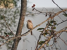 Brown shrike-3-xavier cottage-yercaud-salem-India.jpg