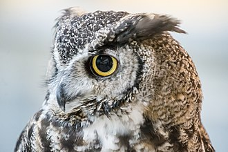 Lindsay Wildlife Experience - A close-up photograph of Bubo, Lindsay's resident great horned owl