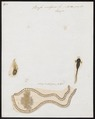 Bufo vulgaris - 1700-1880 - Print - Iconographia Zoologica - Special Collections University of Amsterdam - UBA01 IZ11400225.tif