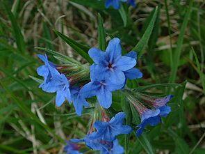 Blauroter Steinsame (Buglossoides purpurocaerula)