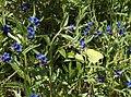 Buglossoides purpurocaerulea (14208371881).jpg