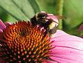 Bumblebee-Echinacea.jpg