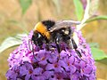 Bumblebee (Bombus vestalis??), Sandy, Bedfordshire (9489134360).jpg