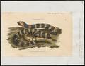 Bungarus annularis - 1700-1880 - Print - Iconographia Zoologica - Special Collections University of Amsterdam - UBA01 IZ11800083.tif