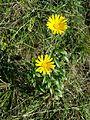 Buphthalmum salicifolium sl1.jpg