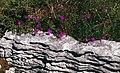 Burren-12-rote Blueten-Fels-1989-gje.jpg