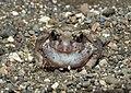 Burrowing Frog Sphaerotheca breviceps by Dr. Raju Kasambe DSCN6848 (14).jpg