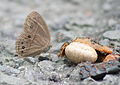 Bushbrown Butterfly I IMG 5458.jpg