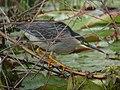 Butorides striata Garcita rayada Striated Heron (10761100594).jpg