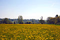 Buttercup field in Dedham, Essex.jpg