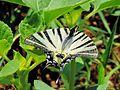 Butterfly 3147.jpg