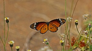 Insect flight - The Neoptera, including butterflies and most other insects, have indirect flight musculature.