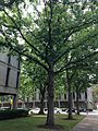C32-2-Quercus alba (White Oak).JPG