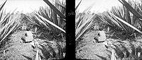 COLLECTIE TROPENMUSEUM Een vrouw bundelt de geoogste bladeren van de cantala agave op onderneming Mento Toelakan in Solo Java TMnr 10011435.jpg