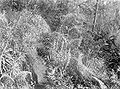 COLLECTIE TROPENMUSEUM Habenaria multipartita Euphorbia rothiana en Parochetus communis in Tjemarabos tussen de vulkanen Arjuno en Welirang TMnr 10024195.jpg