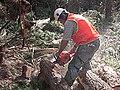 CSIRO ScienceImage 1550 Radiata pine field trial.jpg