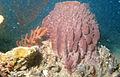 CSIRO ScienceImage 2517 Gorgonians and a Sponge.jpg