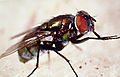 CSIRO ScienceImage 62 An Australian sheep blowfly.jpg