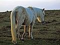 Caballo tipico gallego (cropped).jpg