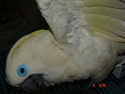 Cacatua ophthalmica -captive-6a