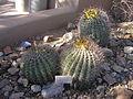 Cacti barrel ls 2006.JPG
