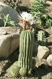 Cactus 002.jpg