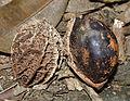 Calatola columbiana (14401827104).jpg