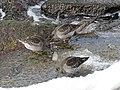 Calidris maritima (39907107494).jpg
