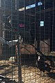 California condors -816 and -839 in the flight pen before release. (24358752287).jpg