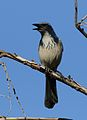California scrub jay, Aphelocoma californica, along the Guadalupe River in Santa Clara, California, USA (25319261819).jpg