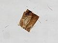 Calliphora vomitoria (YPM IZ 098901).jpeg