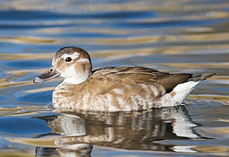 Ringed teal - Female ringed teal