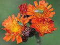 Calocoris sp. ? (Hemiptera- Miridae) (7272858736).jpg