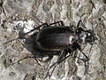 Calosoma inquisitor (Carabidae) found 1-2 dead on the road (9629681130).jpg