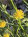 Calotis lappulacea flower & foliage.jpg