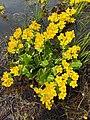 Caltha palustris 126283426.jpg