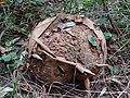 Calvatia gigantea DK19 (1).jpg