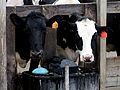 Calves at ball waterer.jpg